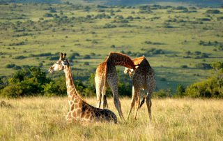 Lentaba-Lodge-Xscape4u-Wildlife-Giraffe-Lalibela-Game-Reserve