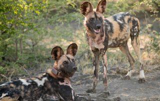 Madikwe-Safari-Kopana-Xscape4u-Wildlife-wild-dog