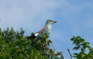 Lentaba-Lodge-Xscape4u-European-roller-Lalibela-Game-Reserve