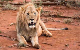 Madikwe-Safari-Kopana-Xscape4u-Wildlife-lion