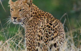 Pafuri-Luxury-Tented-Camp-Xscape4u-Leopard-Kruger-National-Park