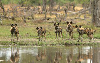 Kruger-game-drive-wildlife-Wilddog-Xscape4u