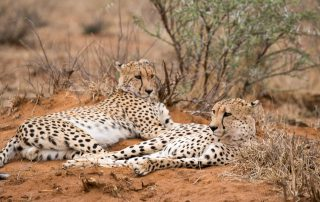 Madikwe-Sasfari-Dithaba-Xscape4u-Wildlife-Cheetah