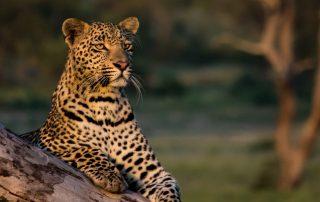 Chitwa-Xscape4u-Leopard-Sabi-Sand-Game-Reserve