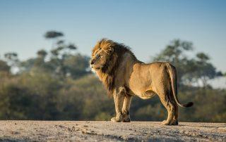 Chitwa-Xscape4u-safari-Lion-Sabi-Sand-Game-Reserve
