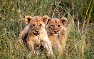 Mabula-Game-lodge-Xscape4u-Lion-Cub