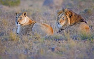 Bukela-Game-Lodge-Xscape4u-Lion-Amakhala-Game-Reserve