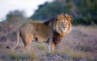 Hlosi-Game-Lodge-Xscape4u-Lion-Amakhala-Game-Reserve