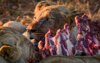 Madikwe-Safari-Lelapa-Xscape4u-Lion-Kill