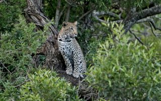 Leopard-sighting-at-andBeyond-Phinda-Private-Game-Reserve-Copyright-Howard-Cleland-Xscape4u