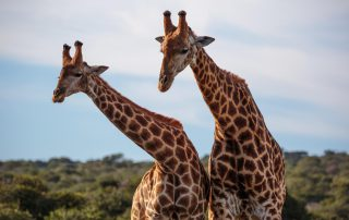 Bukela-Game-Lodge-Xscape4u-Giraffe-Amakhala-Game-Reserve