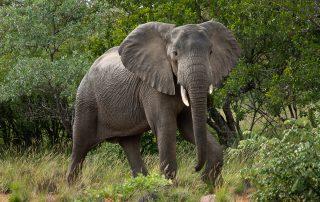 Lepogo-Xscape4u-Noka-Camp-Elephant-Lapalala-Wildernes