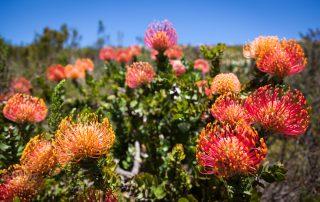 Grootbos-nature-reserve-Xscape4u-flora