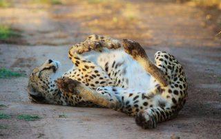 Lentaba-Lodge-Xscape4u-Cheetah-Lalibela-Game-reserve