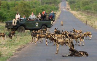 Kambaku-Safari-lodge-Xscape4u-Wilddog-Greater-Kruger-National