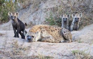 Kambaku-Safari-lodge-Xscape4u-Hyena-pubs-Timbavati-game-reserve