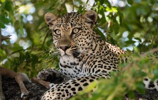 Dulini-Leadwood-Xscape4u-Leopard-Wildlife-Sabi-Sand-Game-Reserve