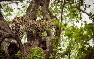 Chitwa-safari-Xscape4u-leopard-Sabi-Sand-Game-Reserve