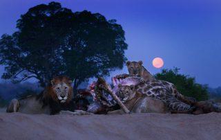 Dulini-Leadwood-Xscape4u-Lions-on-Giraffe-kill-Sabi-Sand-Game-Reserve