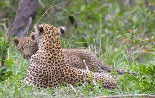 Dulini-Lodge-Xscape4u-Leopard-Sabi-Sand-Game-Reserve
