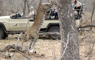 Nkorho-Bush-Lodge-Xscape4u-Leopard-Sabi-Sand-Game-Reserve.