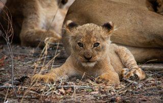 Nkorho-Bush-Lodge-Xscape4u-Lion-cub-Sabi-Sand-Game-Reserve.