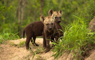 Nkorho-Bush-Lodge-Xscape4u-Hyena-pubs-Sabi-Sand-Game-Reserve