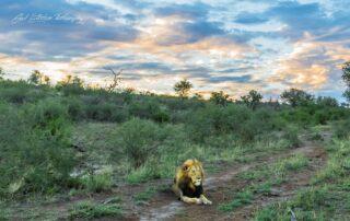 Impodimo-Xscape4u-Wildlife-Lion-Madikwe-Game-Reserve