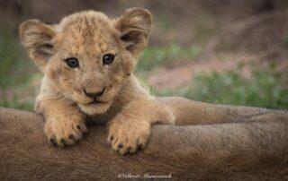 Thabamati-Luxury-Tented-Xscape4u-Lion-cub-Timbavati-Game-Reserve