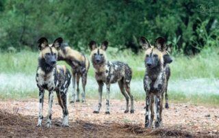 Thabamati-Luxury-Tented-Xscape4u-Wild-dog-Timbavati-Game-Reserve