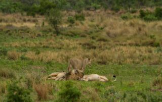 Nedile-Lodge-Xscape4u-Lion-Pride-Welgevonden-Game-Reserve