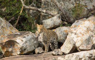 Nedile-Lodge-Xscape4u-Leopard-and-cub-Welgevonden-Game-Reserve