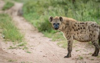 Tulela-Xxcape4u-hyena-Klaserie-Private-Game-Reserve