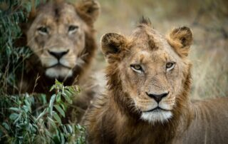 Tulela-Xscape4u-Lion-Klaserie-Private-Nature-Reserve