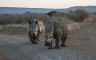 Roral-Molori-Safari-Xscape4u-Rhino-Madikwe-Game-Reserve