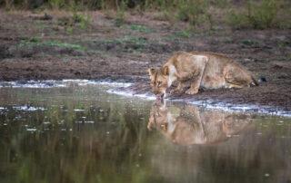 Abelana-Safari-Camp-Xscape4u-Lioness_Drinking