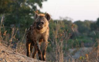 Tamboti-Xscape4u-Blog-HyenaClan-Thornybush-Game-Reserve