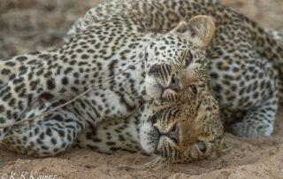 Thornybush-Game-Lodge-Xscape4u-Leopard-Thornybush-Game-Reserve
