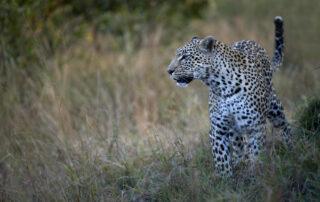 Simbambili-Xscape4u-Leopard-Sabi-Sand-Game-Reserve