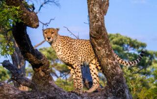 Umganu-Cheetah-Elephant-Point-Greater-Kruger-Xscape4u