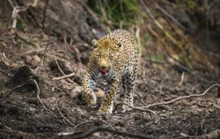 Umganu-Leopard-Elephant-Point-Greater-Kruger