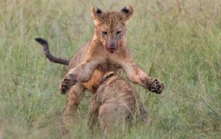 Etali-Safari-Lion-Cubs-Madikwe-Game-Reserve-Xscape4u