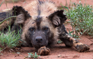 Etali-Safari-Wilddog-Madikwe-Game-Reserve-Xscape4u
