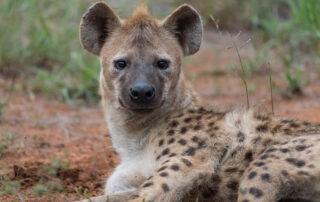 Etalis-Safari-Hyena-Madikwe-Game-Reserve-Xscape4u-