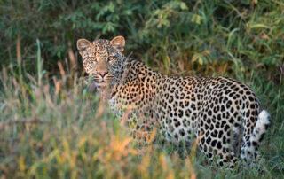 Etali-Safari-Leopard-Madikwe-Game-Reserve-Xscape4u