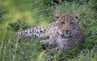 Siviti-Thornybush-Game-Reserve-Leopard-Xscape4u