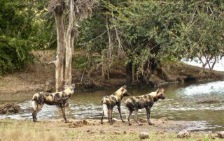 Klaserie-Drift-Misava-Safari-Camp-Wilddog-Xscape4u